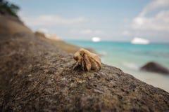 Het close-up van de kluizenaarkrab op achtergrond van steen en oceaan Royalty-vrije Stock Afbeeldingen