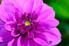 Het Close-up van de lavendeldahlia Royalty-vrije Stock Afbeeldingen
