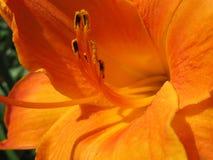 Het close-up van de leliebloem Royalty-vrije Stock Afbeeldingen
