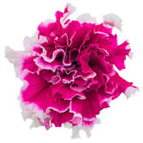 Het close-up van de petuniabloem stock afbeeldingen