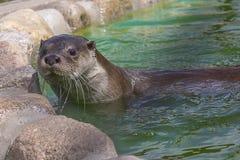 Het Close-up van de rivierotter stock afbeelding