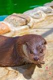 Het Close-up van de rivierotter royalty-vrije stock foto