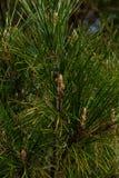Het close-up van de spar van de Kerstmispijnboom vertakt zich achtergrond Achtergrond van Kerstboomtakken stock afbeeldingen