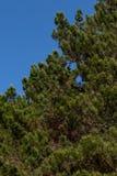 Het close-up van de spar van de Kerstmispijnboom vertakt zich achtergrond Achtergrond van Kerstboomtakken royalty-vrije stock afbeelding