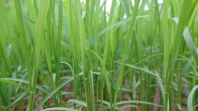 Het close-up van de zaailingen, dit is de zaailingen door de landbouwers worden gecultiveerd die royalty-vrije stock afbeelding