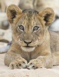 Het close-up van een kleine leeuwwelp bepaalt om op zachte Kalahari s te rusten stock afbeeldingen