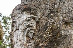 Het close-up van een oude boomwond met plank schiet op schors en vaag gebladerte op achtergrond als paddestoelen uit de grond Stock Fotografie