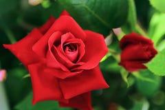 Het close-up van grote natuurlijke rood nam toe stock fotografie