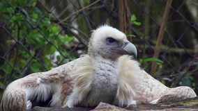 Het Close-up van Himalayangriffon vulture stock footage