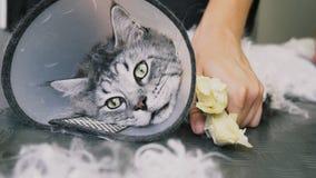 Het close-up van NProfessionalmaine coon cat grooming royalty-vrije stock foto's