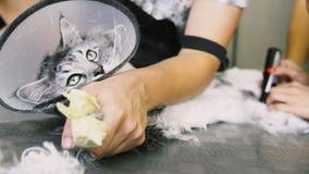 Het close-up van NProfessionalmaine coon cat grooming stock afbeeldingen