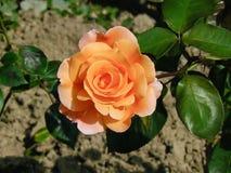 Het close-up van Oranje Hybride T nam toe royalty-vrije stock foto's