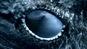 Het close-up van het raafoog, macro, oog van kraai met een kap gestemd stock footage
