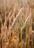 Het close-up van tarweoren Royalty-vrije Stock Fotografie