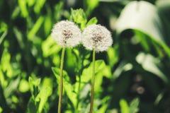 Het close-up van twee blowballspaardebloemen royalty-vrije stock afbeelding