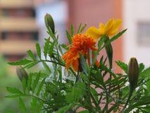 Het close-up van verscheidene bloemengoudsbloemen op de achtergrond van het huis stock foto's