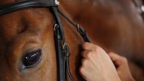 Het close-up, vrouwen` s handen gezet op een teugel, haalt leerriemen op de snuit van een Volbloed-, Mooi paard aan Oog van stock footage