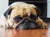 Het close-upgezicht van de Leuke pug rust van de puppyhond door kin en de tong bepalen op gelamineerde vloer en kijken aan camera Stock Afbeeldingen