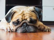 Het close-upgezicht van de Leuke pug rust van de puppyhond door kin en de tong bepalen op gelamineerde vloer en kijken aan grond Royalty-vrije Stock Foto's