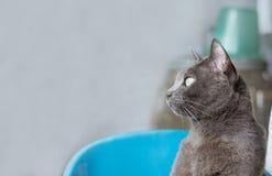 Het close-uphoofd schoot grijze kat kijkend iets, met exemplaarruimte Royalty-vrije Stock Afbeelding