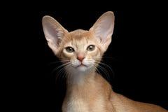Het close-upportret van Abyssinian Kitten Looking isoleerde in camera zwarte royalty-vrije stock afbeeldingen