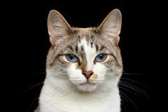 Het close-upportret van gezichts Witte Kat, Blauwe Ogen isoleerde Zwarte Achtergrond stock foto