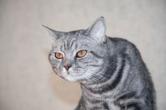 Het close-upportret van grijze boze strenge en ernstige kat die strikt en maakt een gebochelde eruit zien stock foto's