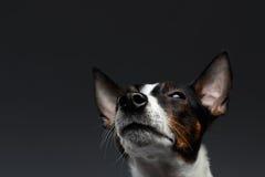 Het close-upportret van Jack Russell Terrier Dog Looking loenst omhoog royalty-vrije stock foto