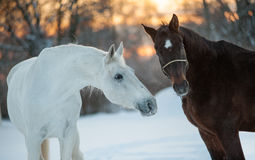 Het communiceren van paarden Royalty-vrije Stock Foto's