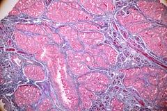 Het concept Onderwijsanatomie en fysiologie van borstklier is een exocrineklier in zoogdieren onder microscopisch stock afbeelding