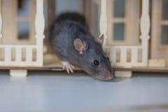 Het concept talent De grijze rattensnuifjes Knaagdier op de sleep stock foto