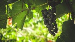 Het concept van de druivenoogst Rijpe druiven stock foto's