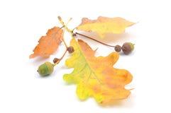 Het concept van de herfst met eikels Royalty-vrije Stock Foto's