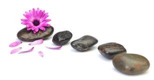 Het concept van de osteospermumdecoratie van de bloem gezondheidskuuroorden. Royalty-vrije Stock Foto