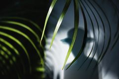 Het concept van de de zomertijd Schaduw van een Mens in het Palmblad die van Fedora Hat en Areca aan de Muur in de schaduw stelle royalty-vrije stock fotografie