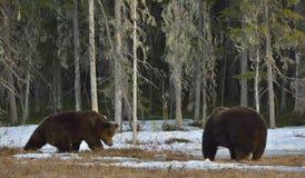 Het conflict van twee bruine beren voor overheersing stock foto