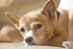 Het contact van het Chihuahuaoog Stock Foto's