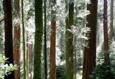 Het Contrast van de Californische sequoia Royalty-vrije Stock Afbeelding