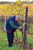 Het controleren van de druiven Royalty-vrije Stock Afbeeldingen