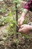 Het controleren van installaties van tomaten Stock Afbeelding