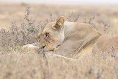 Het controleren van leeuw in Tanzania, Serengeti Stock Foto