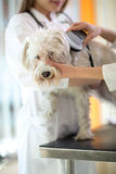 Het controleren van microchipimplant op Maltese hond Royalty-vrije Stock Fotografie