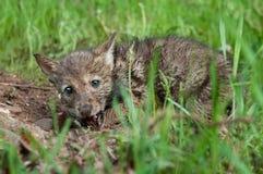 Het coyotejong (Canis latrans) knaagt aan op Stuk van Vlees Stock Foto's