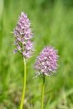 Het cursief van de orchidee Royalty-vrije Stock Foto's
