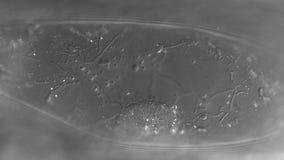 Het Cytoplasmic stromen stock footage