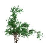 het 3D Teruggeven ABush Rosa Majalis op Wit Royalty-vrije Stock Fotografie