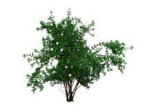 het 3D Teruggeven Bush Rosa Majalis op Wit Stock Fotografie