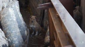 Het dakloze puppy bekijkt de camera stock video