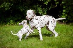 Het Dalmatische hond spelen met een puppy Stock Foto