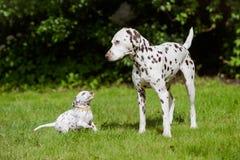 Het Dalmatische hond spelen met een puppy Royalty-vrije Stock Foto
